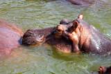 4737 Hippo closeup.jpg