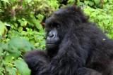 5112 Gorilla closeup.jpg