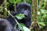 5116 Baby Gorilla.jpg