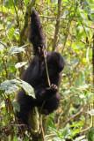 5129 Climbing Gorilla.jpg
