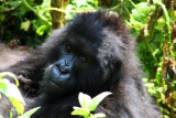 5130 Young Gorilla.jpg