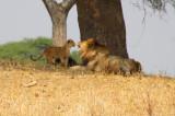 6310 Lions playing Tarangire.jpg