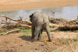 6349 Elephant dumping Tarangire.jpg