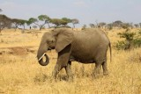 6362 Elephant Tarangire.jpg