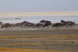 6571 Wildebeest Ngorongoro.jpg