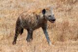 6649 Hyena Ngorongoro.jpg