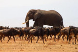 6690 Elephant and Wildebeests.jpg