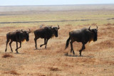 6706 Wildebeests Ngorongoro.jpg