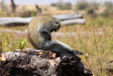 6731 Vervet Monkey Ngorongoro.jpg