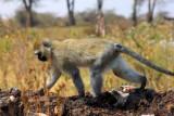 6734 Vervet Monkey Ngorongoro.jpg