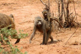 6866 Baboons Lake Manyara.jpg