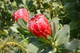 10003 Red plant Medit Eden.jpg