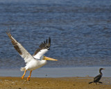 White Pelican and Cormorant