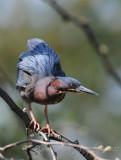 Small Heron