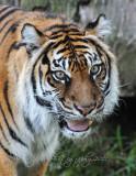 Sumatra Tiger  National Zoo WDC