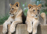 Lions Cubs National Zoo WDC