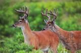White -tailed Deer  Big Meadows NP Va