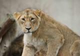 Lion  London Zoo