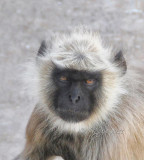Monkey  India Photos By Jason