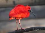 Scarlet Ibis  Washington DC National  Zoo 2012