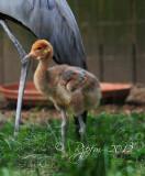 Baby Stanley Crane    Washington National DC Zoo 2012