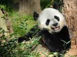 Panda Bear  Washington DC National  Zoo