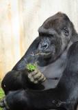 Gorilla   Washington DC National Zoo 2012