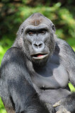 Gorilla Washington DC National Zoo 2012.