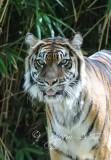 Sumatra  Tiger  Washington DCNational  Zoo