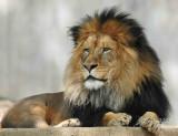 Lion  Washington DC National National Zoo 2012