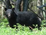 Black Bear Big Meadows NP,Va 2012