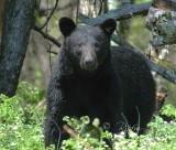 Black Bear Big Meadows NP, Va 2012