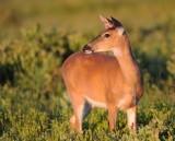 White-tailed Deer  Big Meadows , Va