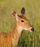 White-tailed Deer  Big Meadows  Va