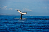 tail 00135 humpback whale tail