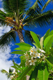 plumeria and palm 08817