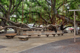 Lahaina banyan tree park 30754