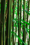 Bamboo forest 08528