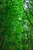 Bamboo forest 08542