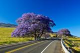 Jacaranda tree 13229