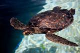 sea turtle 32218