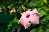 Hibiscus 12815