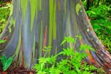 Painted Eucalyptus 29725