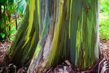 Painted Eucalyptus 29726