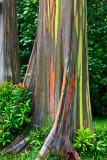 Painted Eucalyptus 2 RD-678 .jpg