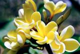 Plumeria - Yellow Plumeria