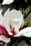 China Magnolia