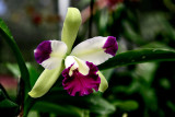 orchid - Cateliya Orchid
