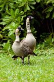 Nene - Hawaiian Nene Geese