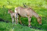 horse - Tenderfoot